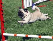 slide-pug